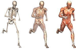 anatomy  physiology skeleton men